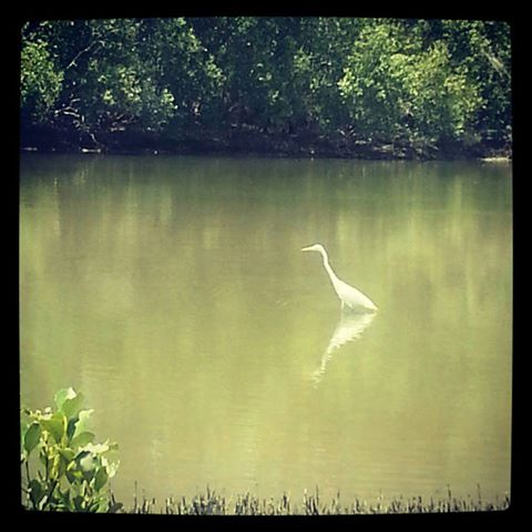 Giant Egret, Coffs Harbour