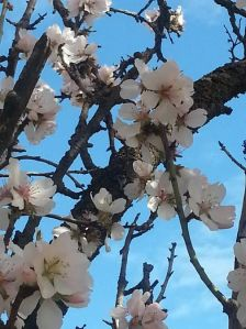 The almond blossom's are impatient for the spring so come early to disturb and disrupt the winter.